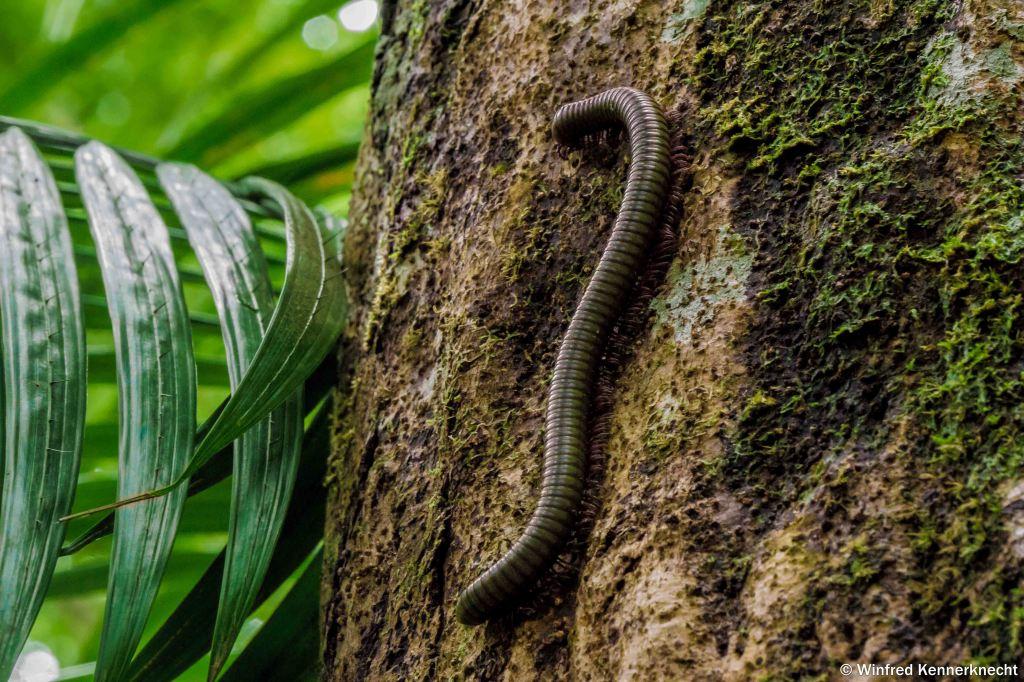 Millipede climbing a tree at Mount Belumut, Johor, Malaysia.