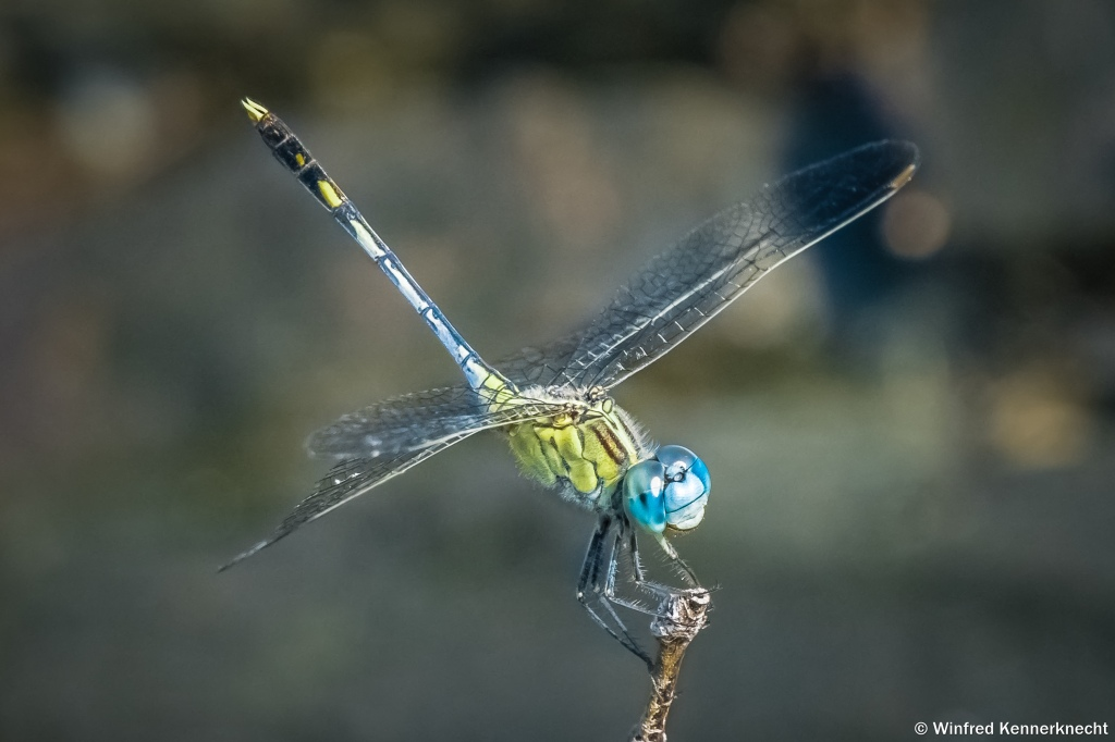 A Dragonfly in Langkawi, Malaysia.